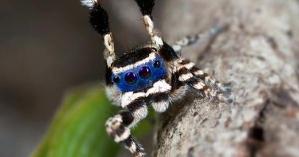 Dos tipos de aranha, essa é a mais fofa