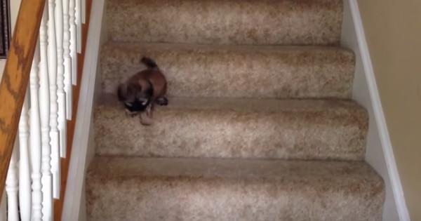 Este filhote de cachorro não teve problemas para descer a escada, mas sua irmã precisou de ajuda