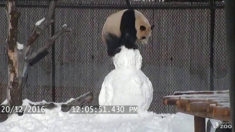Zoológico de Toronto tem o panda mais fofo do mundo e grava em vídeo